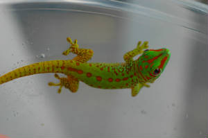 Giant Day Gecko, Phelsuma grandis- Partial striped hatchling