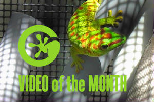Video of the Month- Day Geckos