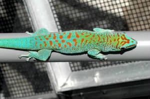 Blue Blood Day Gecko, Phelsuma grandis