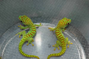 Crimson Hatchling Giant Day Gecko