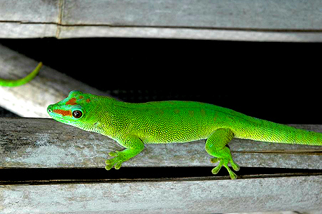 Patternless Giant Day Gecko, Phelsuma grandis