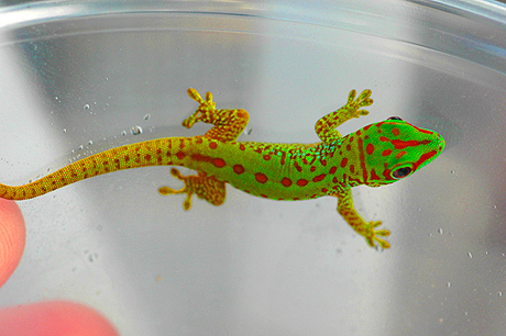 Partial Stripe Giant Day Gecko, Phelsuma grandis