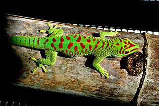 Blotched crimson giant day gecko