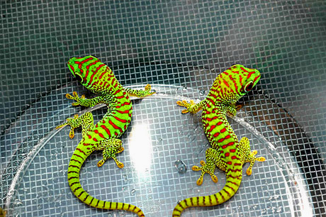 Super Crimson Giant Day Geckos, Phelsuma grandis