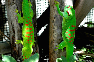 High end and mid range giant day geckos