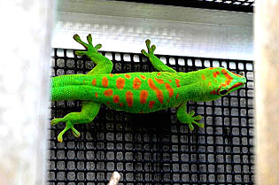 Blotched high end giant day gecko