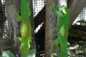 Day Geckos- ADULT PAIR
