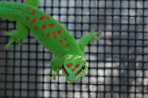 High Red Day Gecko