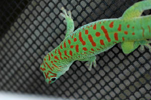 Crimson Giant Day Gecko