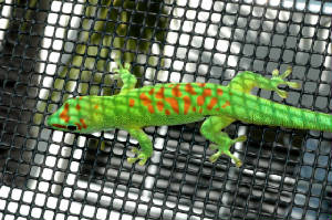 Day Gecko- HIGH RED