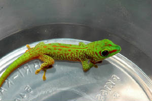 Day Gecko- 80% Stripe Hatchling