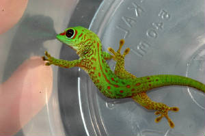Giant Day Gecko- 80% Stripe Hatchling